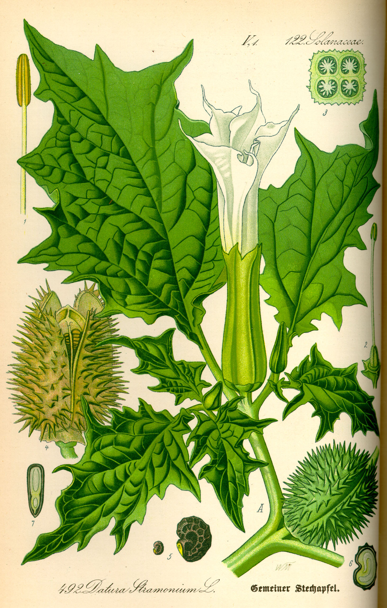 Durman obecný (Datura stramonium L.)
