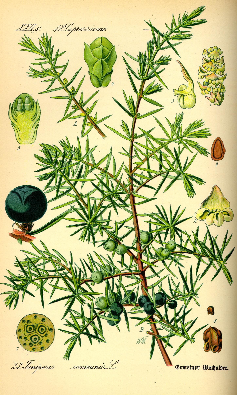 Jalovec (Juniperus communis)